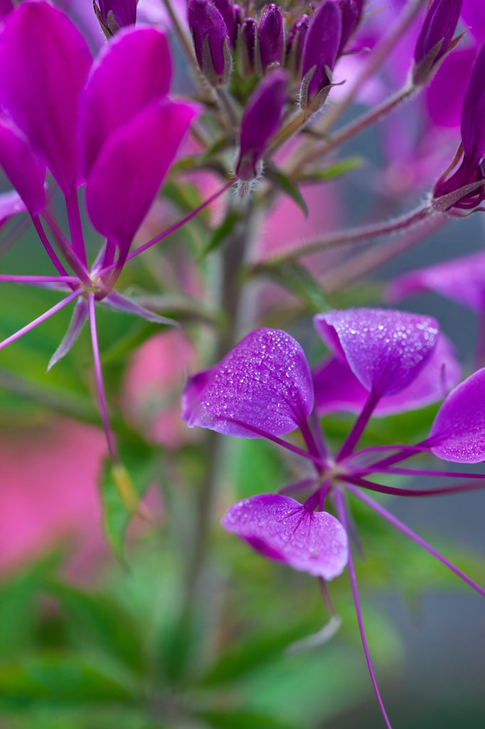 Stock Photo: 4278-9977 Purple Flowers