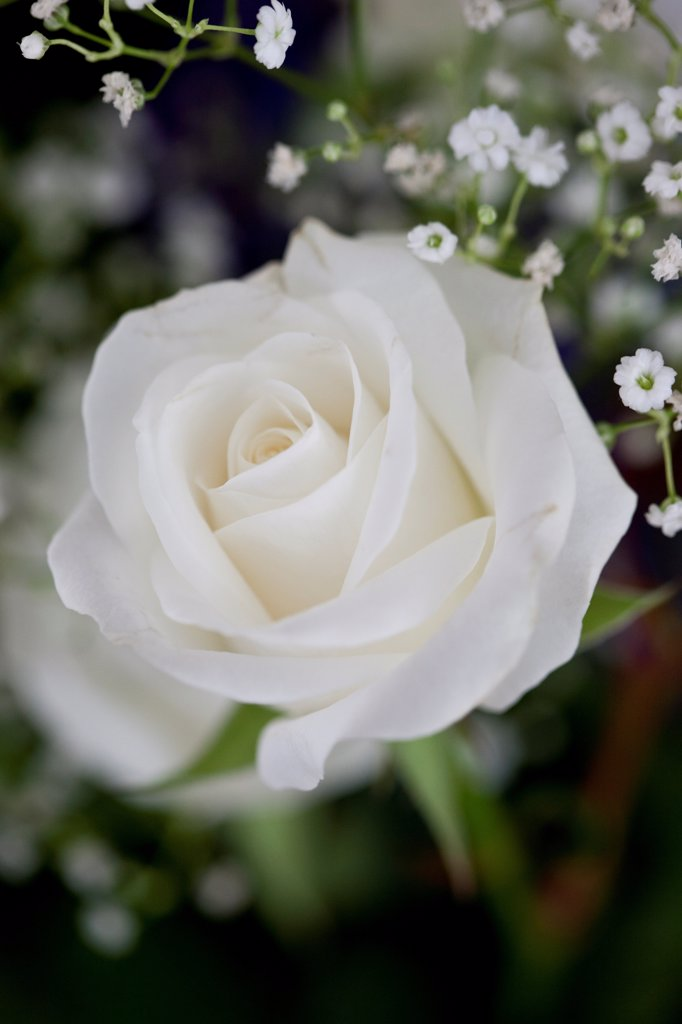 Stock Photo: 4278-9981 White Rose