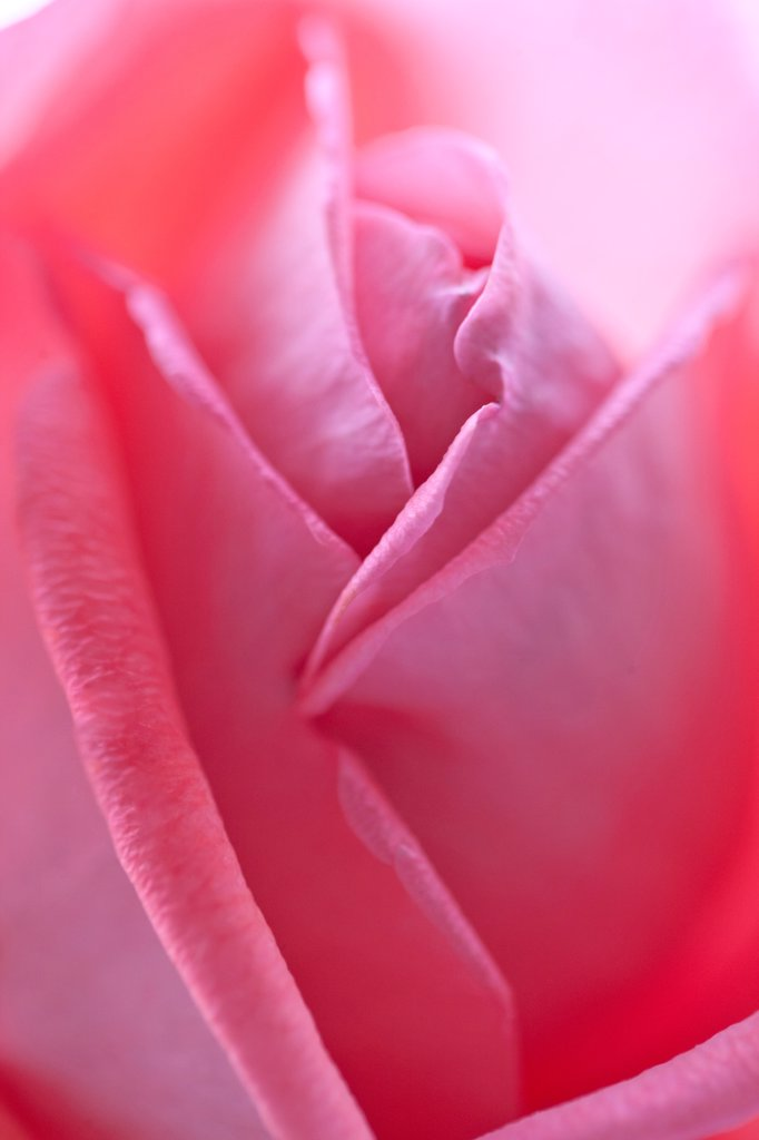 Pink Rose Bud : Stock Photo