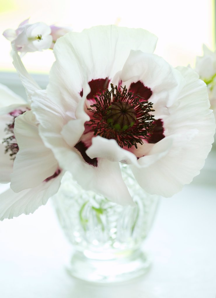 Stock Photo: 4278-9988 White Poppies in Crystal Vase