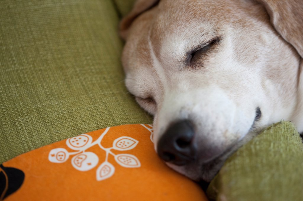 Sleeping Beagle Dog : Stock Photo