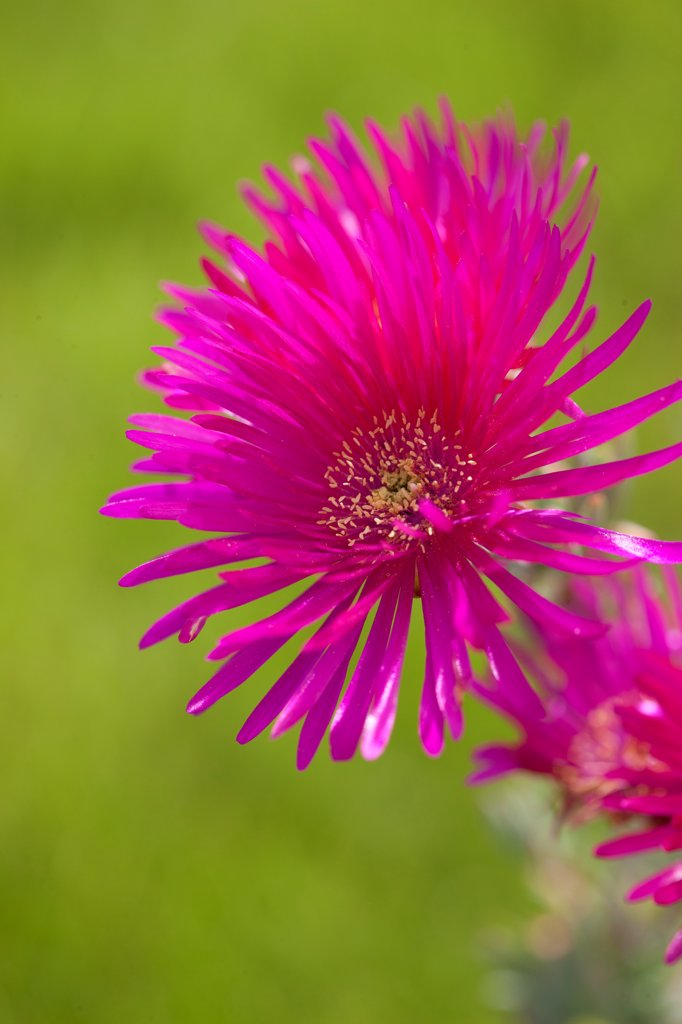 Stock Photo: 4278-9991 Bright Pink Flower Blossom