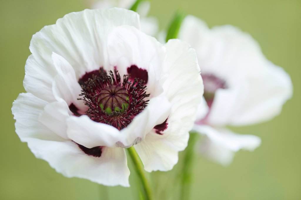 Stock Photo: 4278-9994 White Poppies