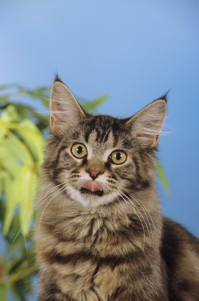 Stock Photo: 4279-10220 Maine Coon - licking its mouth
