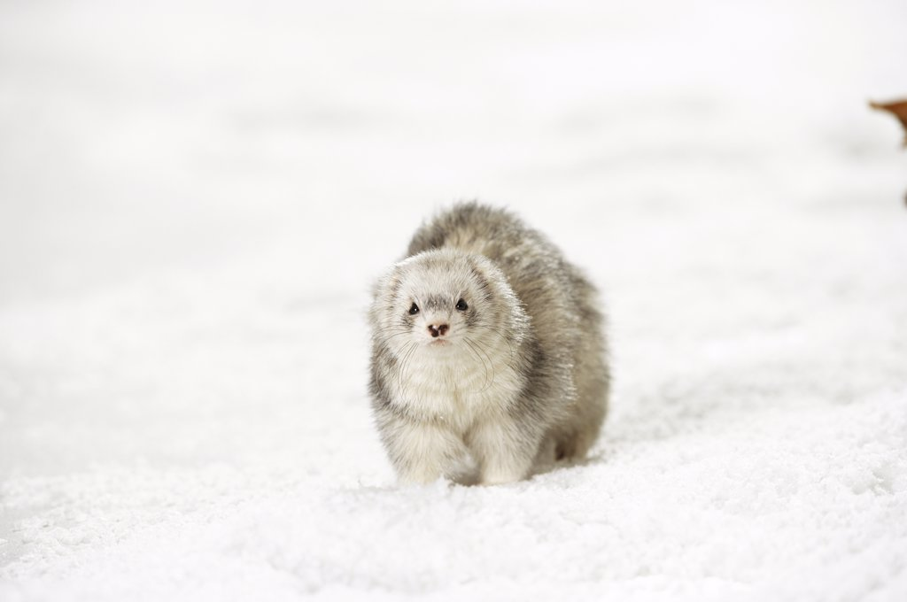 Stock Photo: 4279-10293 domestic polecat - Silver Harlekin - in snow , Mustela putorius f. furo