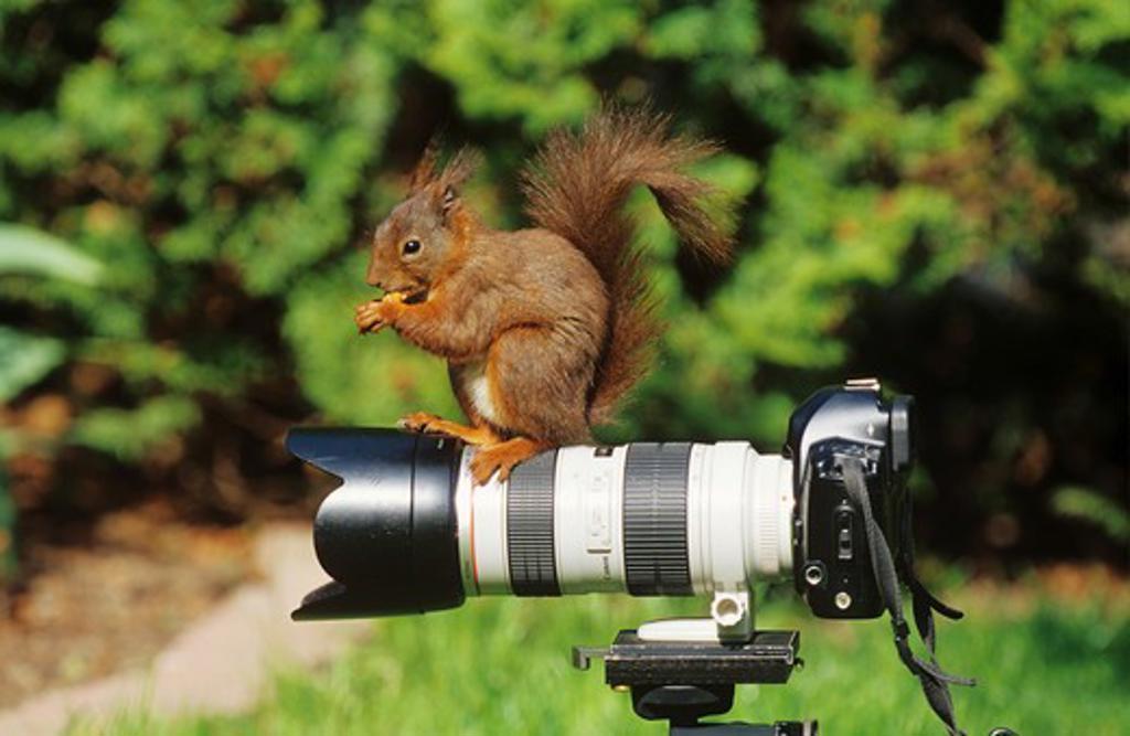 Stock Photo: 4279-10345 Red Squirrel on camera, Sciurus vulgaris