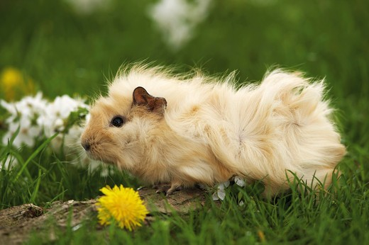 Abyssinian guinea pig - on meadow : Stock Photo