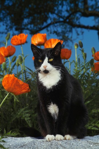 domestic cat sitting in front of poppies : Stock Photo