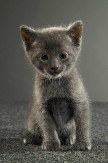 Stock Photo: 4279-10584 grey kitten frontal - cut out