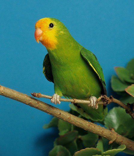 Stock Photo: 4279-10653 red-faced lovebird - female - on branch, Agapornis pullarius