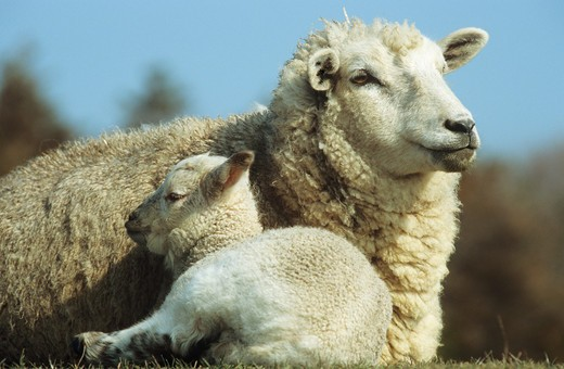 domestic sheep with lamb : Stock Photo