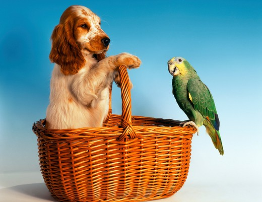 Stock Photo: 4279-1075 animalfriendship : Cocker Spaniel and Amazon