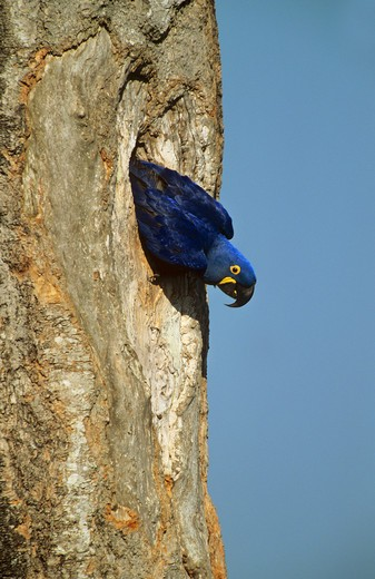 hyacinth macaw - looking out of hollow trunk of a tree, Anodorhynchus hyacinthinus : Stock Photo
