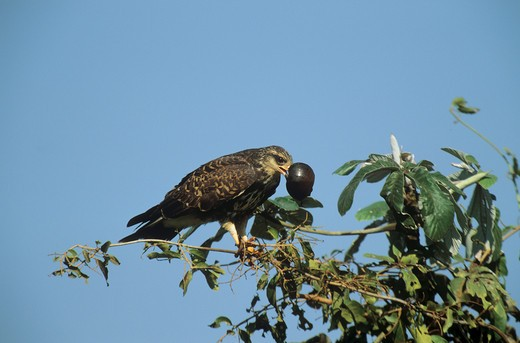 Stock Photo: 4279-10779 snail kite ( male ) - with snail, Rostrhamus sociabilis