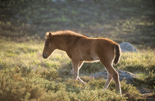 Stock Photo: 4279-10833 Garrano Pony - Minho - mit Fohlen