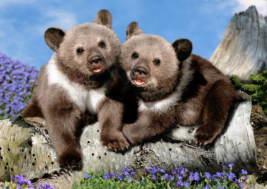 brown bear cubs : Stock Photo