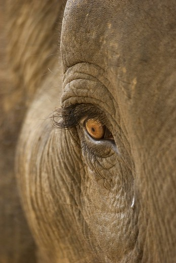 Stock Photo: 4279-11061 Asiatic, Indian elephant - close- up of the eye, elephas maximus