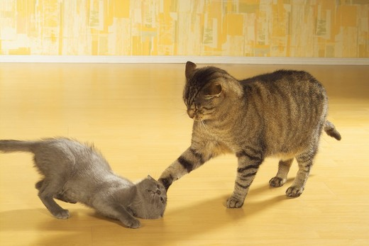domestic cat and kitten playing : Stock Photo