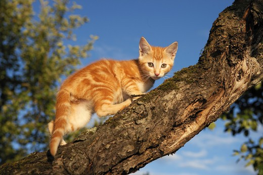 Stock Photo: 4279-11295 young domestic cat - standing on branch