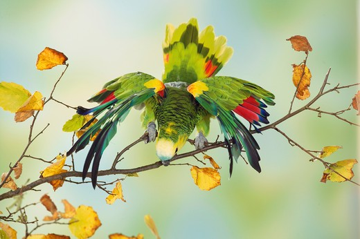 blue-fronted amazon on branch, Amazona aestiva : Stock Photo