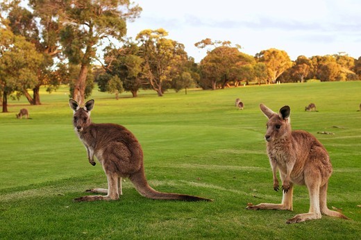 Eastern Grey Kangaroo, Macropus giganteus : Stock Photo