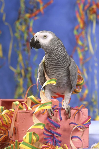 Stock Photo: 4279-1159 Psittacus erithacus, grey parrot