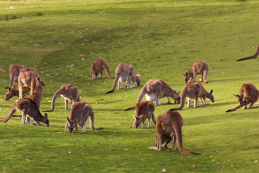 Eastern Grey Kangaroo - herd, Macropus giganteus : Stock Photo