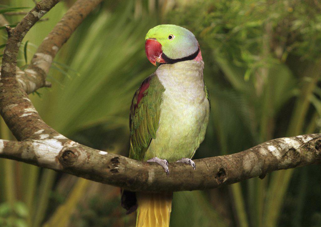 Stock Photo: 4279-11667 ring-necked parakeet - sitting on branch - frontal ,Psittacula krameri