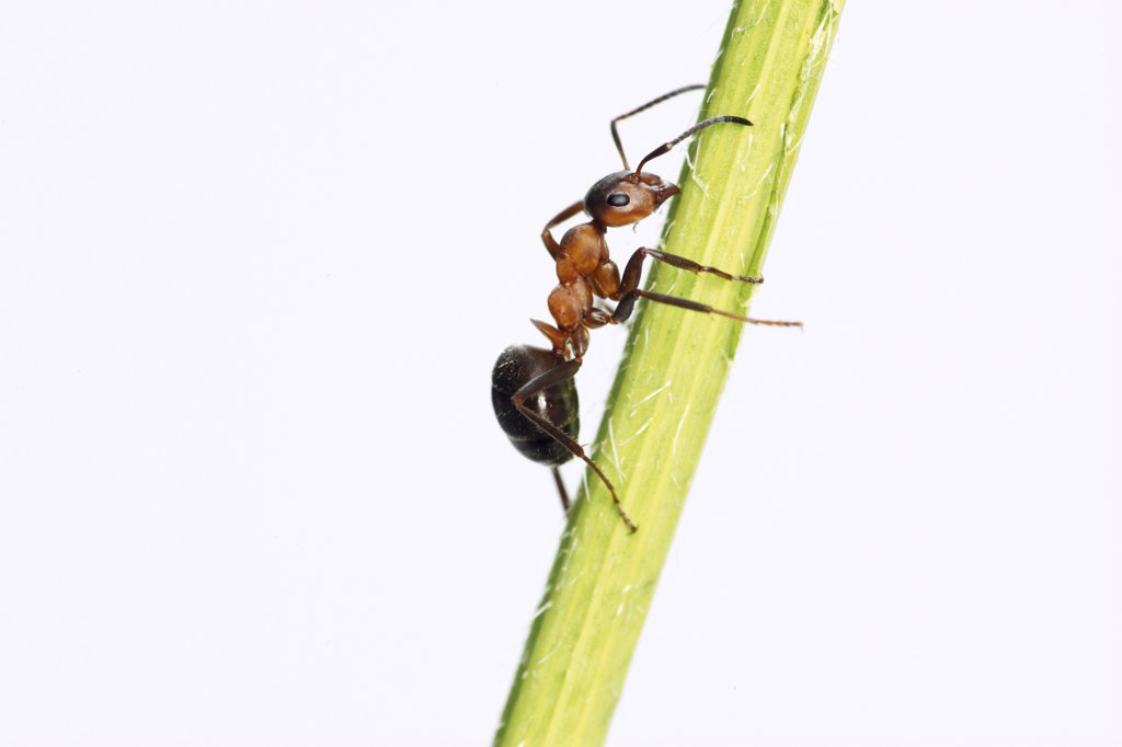 Wood ant - on stalk - cut out, Formica rufa : Stock Photo