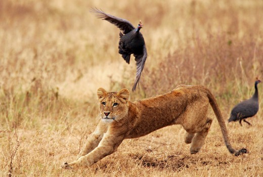 young lion - hunting flying bird, Panthera leo : Stock Photo