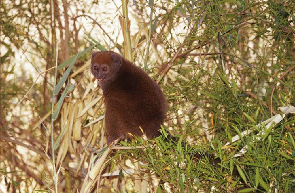Stock Photo: 4279-12001 gray gentle lemur, lesser bamboo lemur, Hapalemur griseus griseus