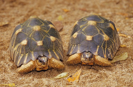 Stock Photo: 4279-12059 two radiated tortoises, geochelone radiata