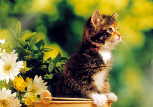 Stock Photo: 4279-12401 kitten in bucket - next to flowers