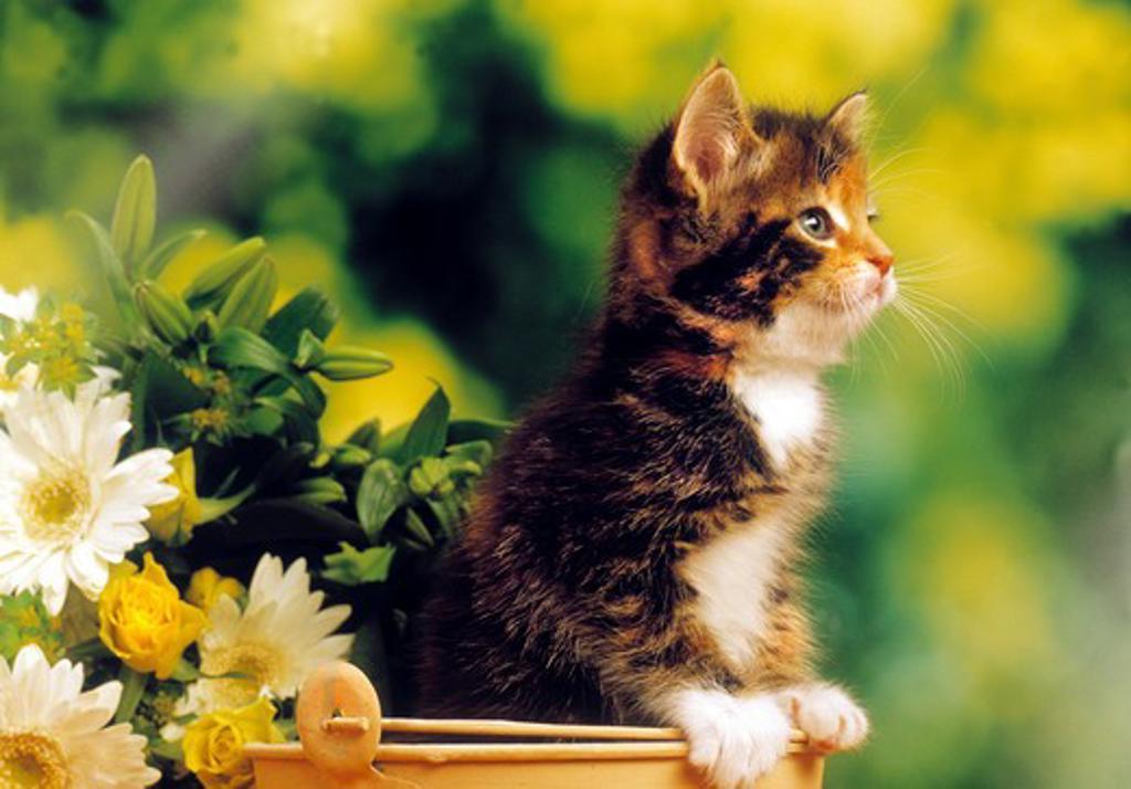 kitten in bucket - next to flowers : Stock Photo