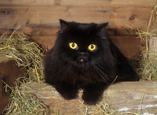 Stock Photo: 4279-12541 black Persian cat - lying in hay