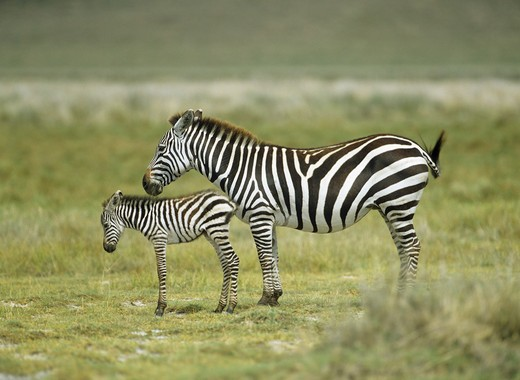 Stock Photo: 4279-12684 Chapman's zebra with foal - standing on meadow, Equus quagga champami