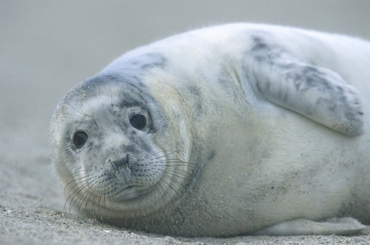 Halichoerus grypus, gray seal : Stock Photo