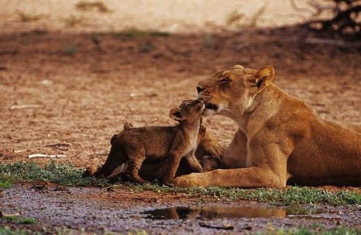 Stock Photo: 4279-13052 lioness smooching with pup, Panthera leo