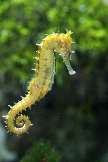 Stock Photo: 4279-13082 Tigertail seahorse, Hippocampus comes