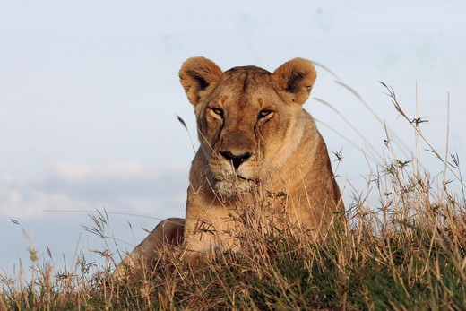 Stock Photo: 4279-13209 lioness - lying on hill, Panthera leo