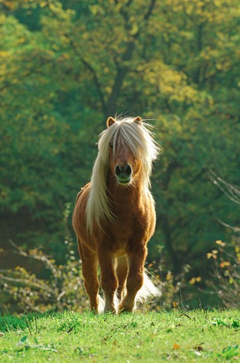 Shetland pony - on meadow : Stock Photo