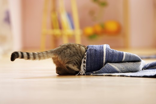 Stock Photo: 4279-13428 domestic cat - looking under carpet
