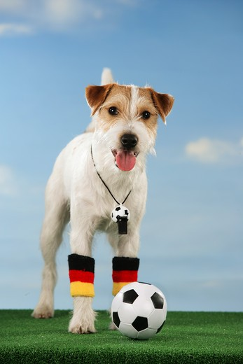 world championship of soccer : Jack Russell Terrier with ball : Stock Photo