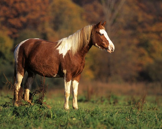 Lewitzer horse - standing on meadow : Stock Photo