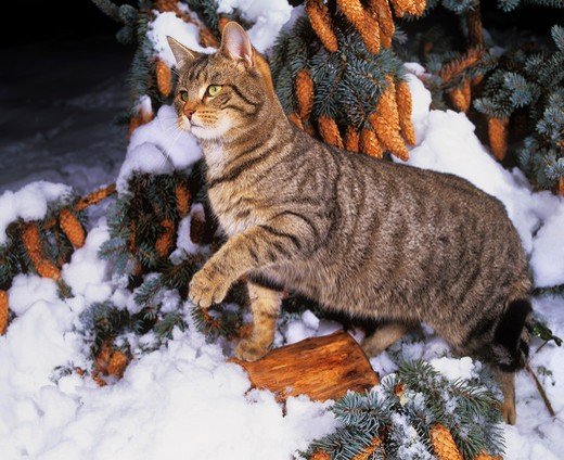 cat - standing in snow : Stock Photo