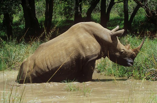 Stock Photo: 4279-13756 square-lipped rhinoceros - in water, Ceratotherium simum