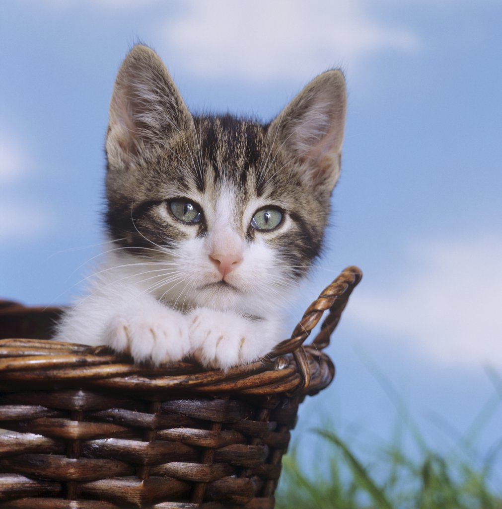 Stock Photo: 4279-13800 kitten in basket