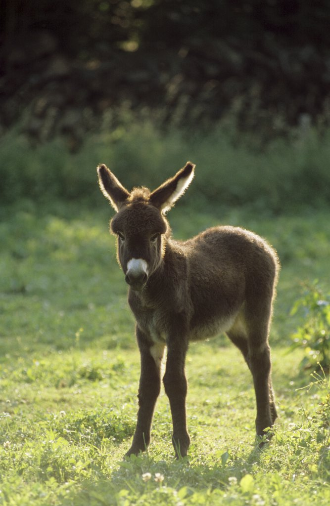 donkey foal - standing on meadow : Stock Photo