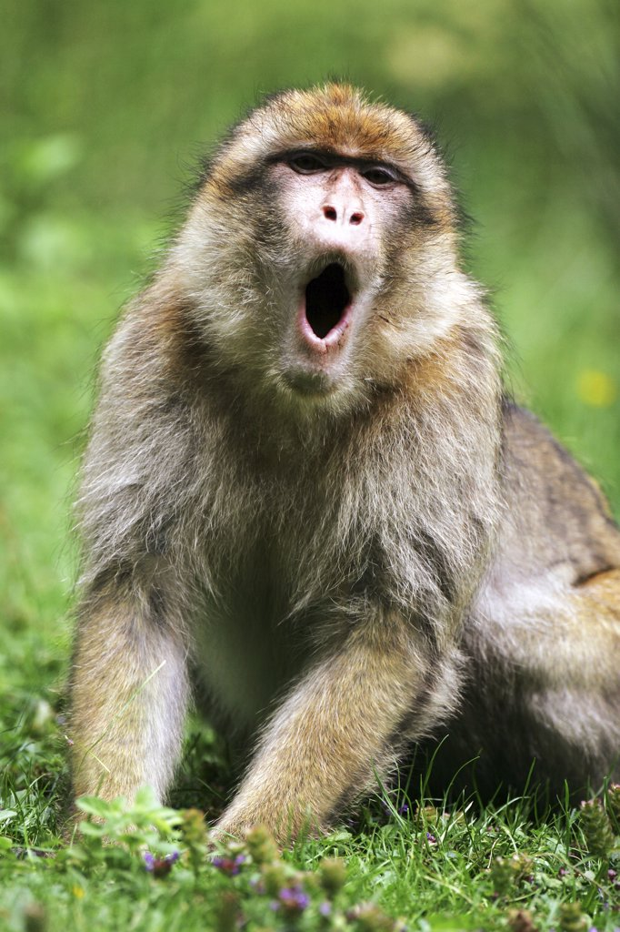 barbary ape, macaque - gaping, Macaca sylvanus : Stock Photo