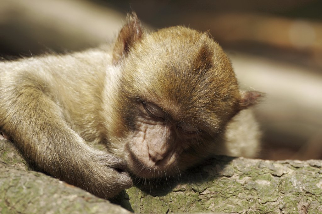 barbary ape, macaque - asleep, Macaca sylvanus : Stock Photo